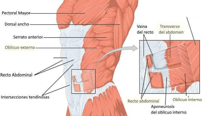 Ejercicios para perder barriga: Anatomia de los abdominales